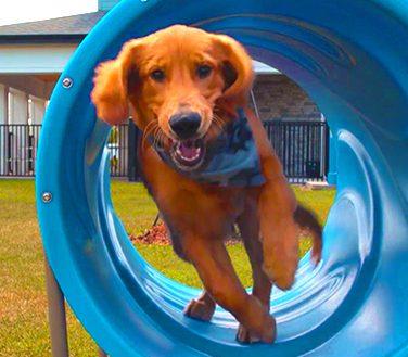 Pet Park Dog running through agility equipment
